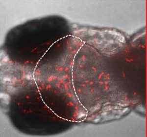 A new discovery in  Zebrafish